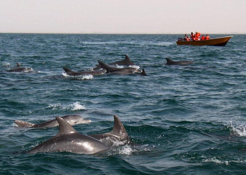 Dolphins, hengam island-qeshm_Persian Gulf